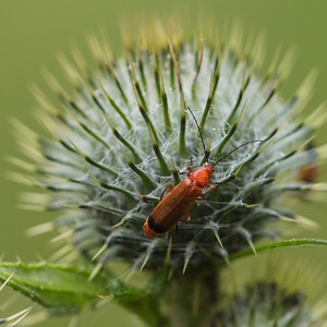 Common Red Soldier Beetle ~ Præstebille