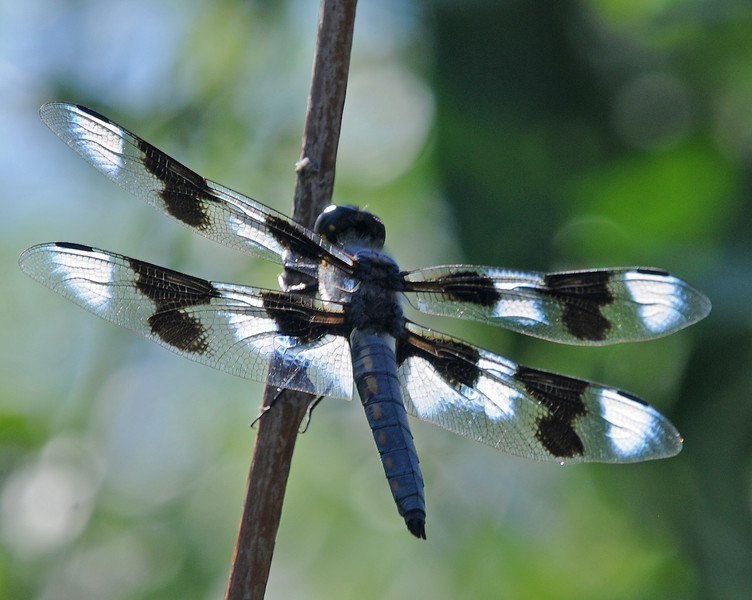 Libellula forensis (Eight-spotted Skimmer), UT - male