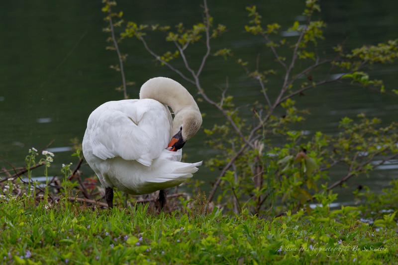 mute swan signed-13.JPG