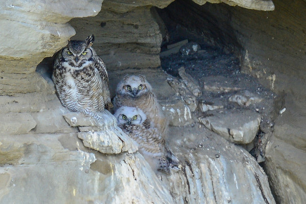 5 2013 May 20 Great Horned Owl - Cave Nest Update