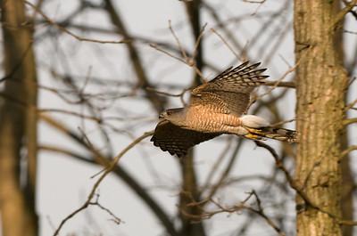Coopers Hawks