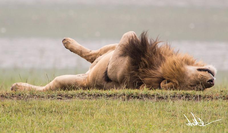 Lions Ngororgoro - S-1.jpg