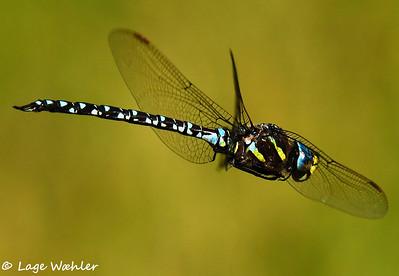 Dragonflies/Øyenstikkere/Trollsländer