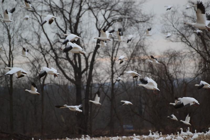 Snow Geese 7 03_13_19.JPG
