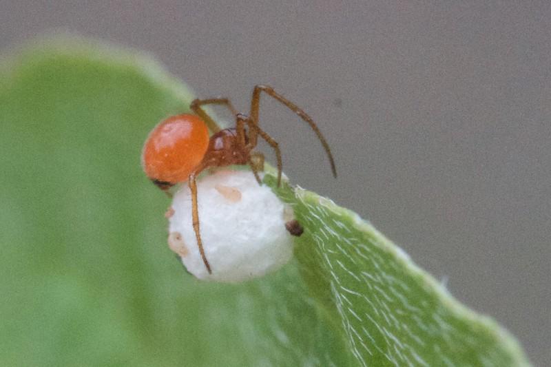 unknown spider with egg sac Skogstjarna Carlton County MN  IMG_4150.CR2.jpg