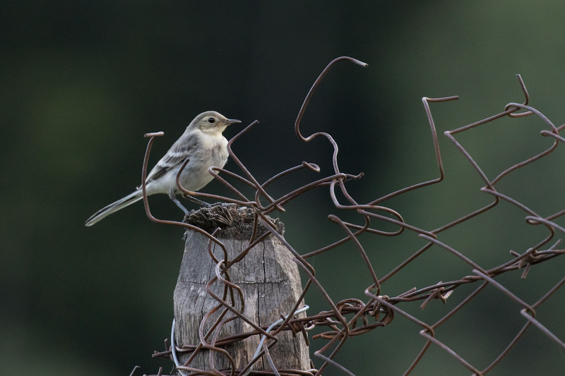 Becho, witte kwikstaart, pied wagtail