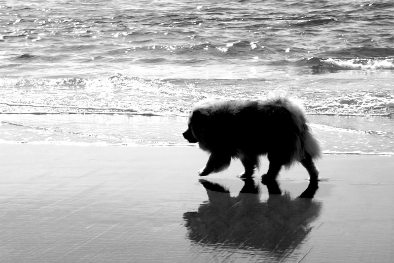 Late in the day we let Lil off lead.  Not something we EVER do normally but she loves to puddle around in the waves with no leash and thinks she' is so very cool and independent.  I lvoe this shot with the reflection in the wet sand