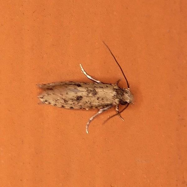 H00261  P146NemapogonAcapnopennella556 May 21, 2015  6:26 a.m.  P1460556 Here is another Nemapogon acapnopennella Clothes Moth at 2601.  Tineid.