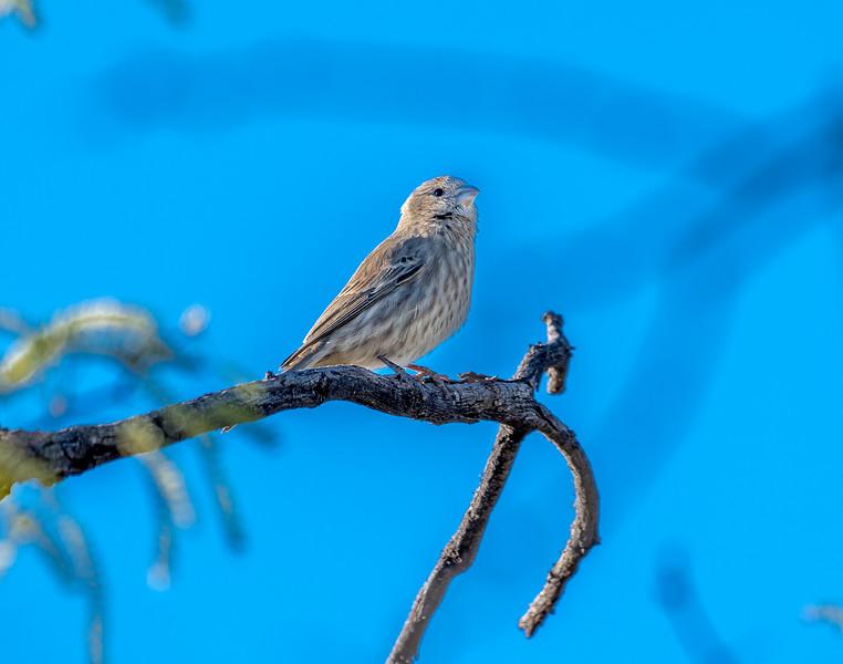 House Finch Female #2