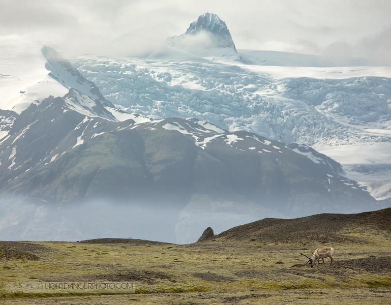 Iceland - Reindeer.jpg