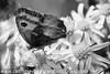 Gate Keeper - Pyronia tithonus (38)