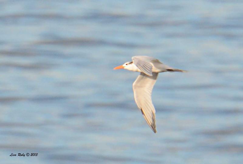 Royal Tern - 12/1/13 - La Jolla Cove
