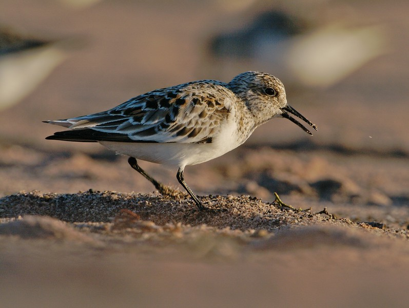 Sanderlings feed right along the surf line, often rushing toward the receding wave to get a few morsels before racing back up the beach to avoid the next wave [May; Lake Superior, Park Point, Duluth, Minnesota]