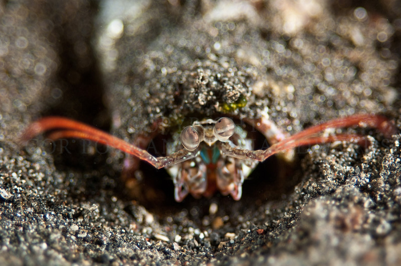 Mantis shrimp has made a home out of a bottle.