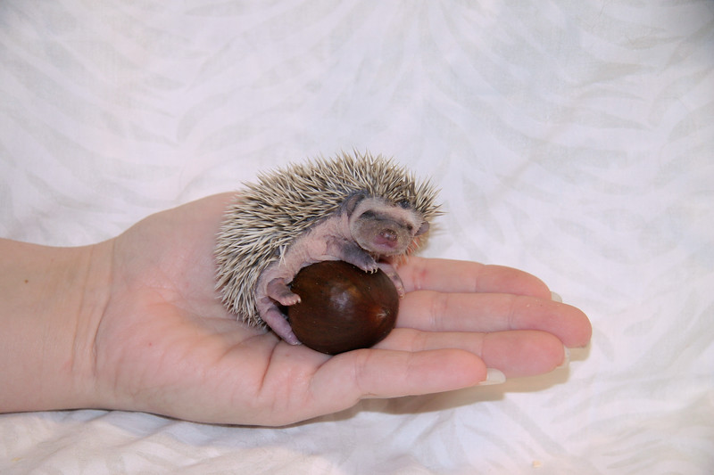 Hedgehog Chestnuts (01/04/2007)  Hedgehog Chestnuts (01/04/2007) - Photoshoot for Mighty Giants - An American Chestnut Anthology  Filename reference: 20070104-215638-HAH-Hedgehog_Chestnuts