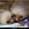 Kissing Sloths