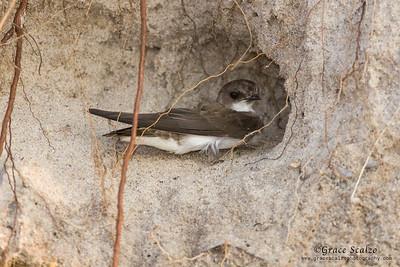 Bank Swallows