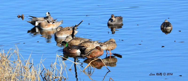 Cinnamon Teal with American Wigeon and Gadwall - 1/2/2015 - Lake Hodges southeast trail (south of pedestrian bridge)