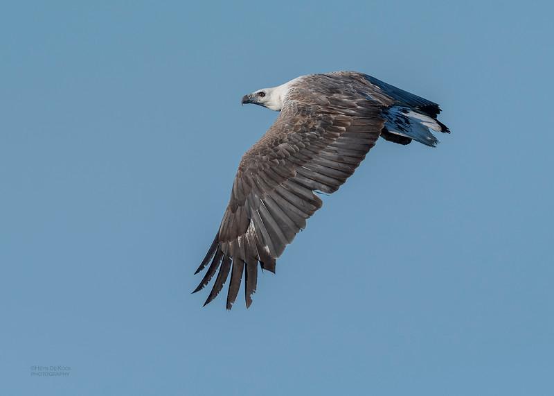 White-bellied Sea Eagle, Dee Why, Sydney, NSW, Oct 2018-1.jpg