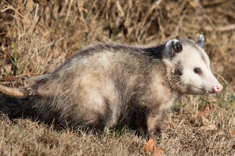 Opossum NC 2019-1.jpg