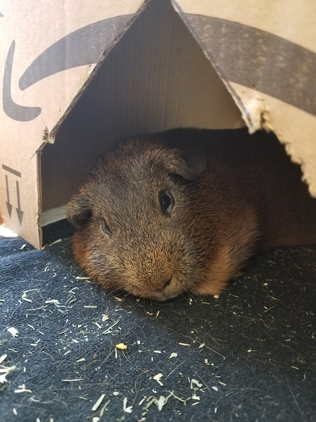 Brownie Pig Pig