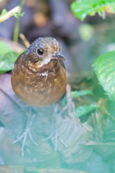 Antpittas - Grallariidae