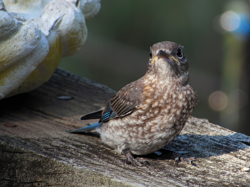 sx30_bluebird_fledgling_248.jpg