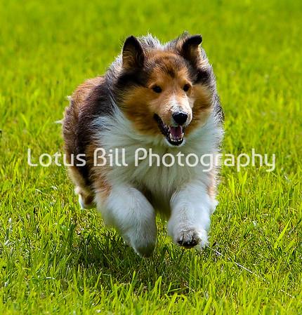 Shetland Sheepdog DH2
