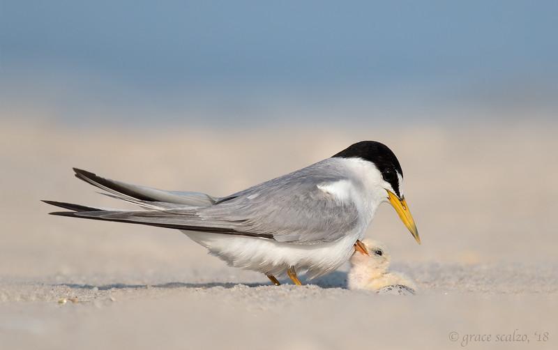 Least tern and chick_O8U8838-Edit.jpg
