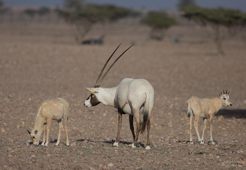 Arabian Oryx (67).jpg