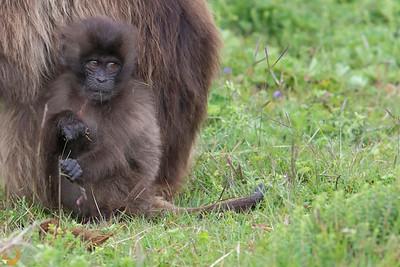 Ethiopia 2018-Gelada monkeys