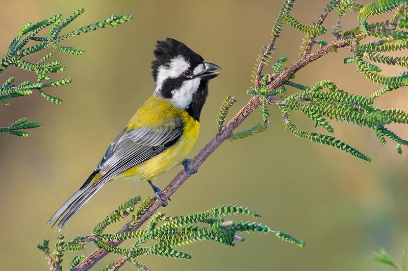 Crested Shriketit - Falcunculus frontatus (Warby Ranges, Vic)