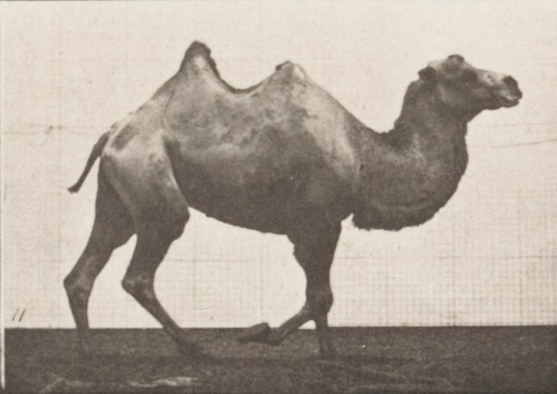 Bactrian camel walking