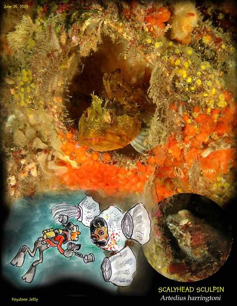 Scalyhead sculpin taking refuge inside empty Giant Barnacle shell. Keystone Jetty, June 26, 2009