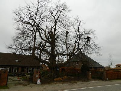 20111228 - Lindenboom in Weelde wordt verzorgd