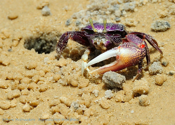 Schaaldieren, Crustaceans, Crustacé, Krebstiere