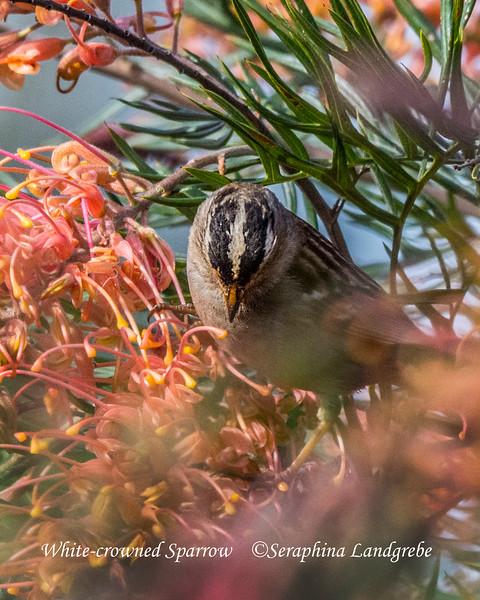 _DSC4617White-crowned Sparrow.jpg