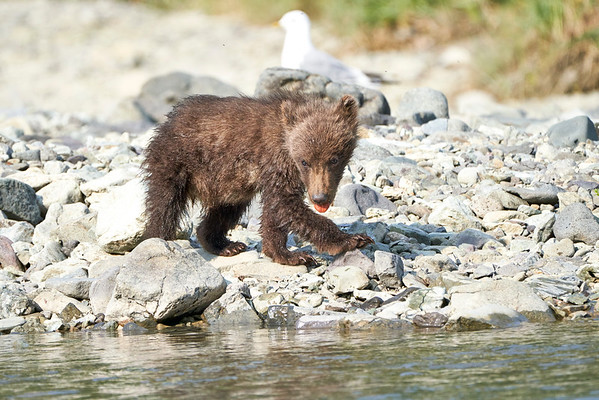 Brown Bear Cubs Geographic Harbor August 2020