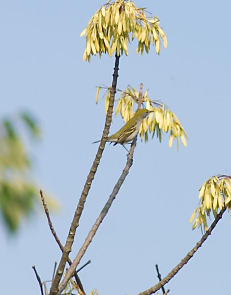 Chestnut-sided Warbler  Non-breeding plumage