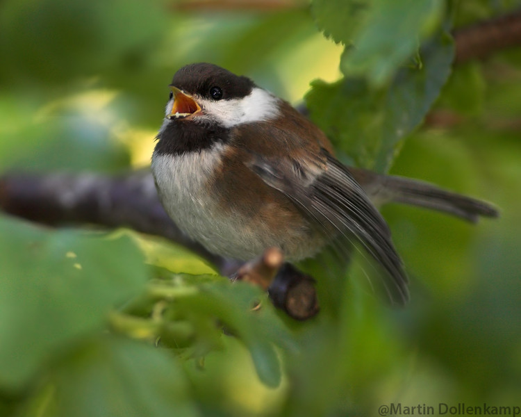 Chestnut-backed Chickadee fledgling calling to be fed.