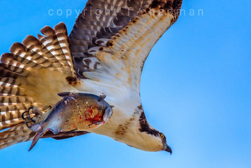 Osprey wih fish flying