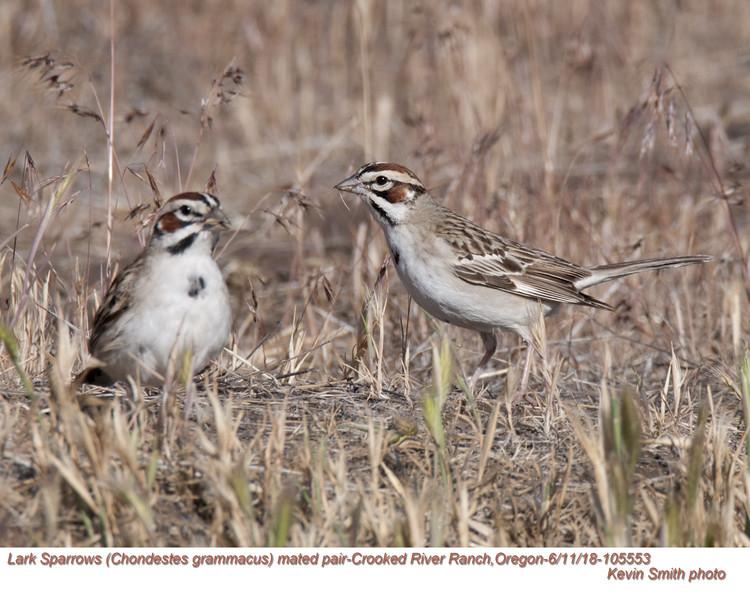 Lark Sparrows P105553.jpg