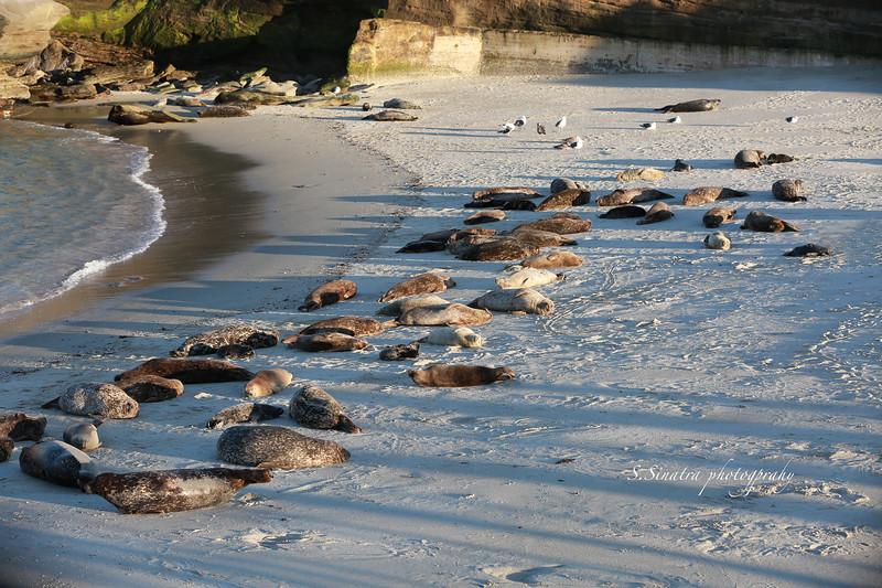 La Jolla Harbor seals 261 copy 2.jpg