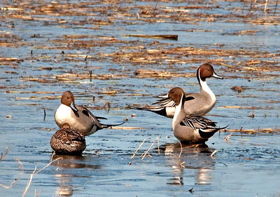 Duck - Northern Pintail