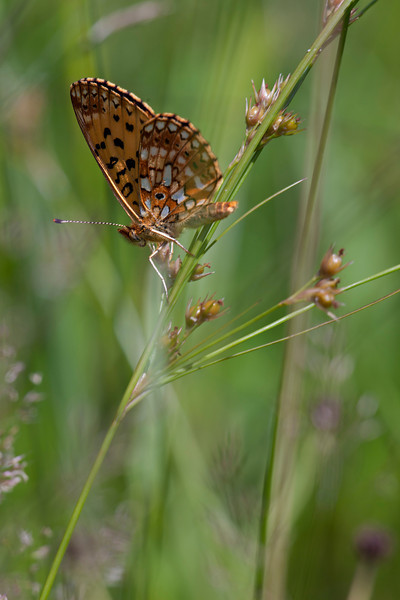 Silver-bordered Fritillary, 4th of July count Appleton Farm,  Cosina Voigtländer  APO-Lanthar 180mm f/4 SL set at F5.6 25mm Ext tube, T32 auto mode F5.6 with 3 stop ND filter for fill