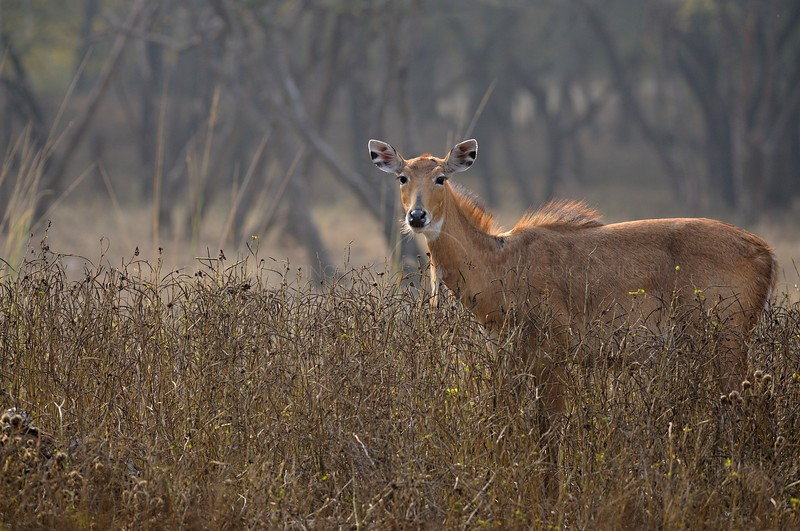 Indian antelope or Nilgai female in Ranthambhore national park