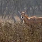 Indian antelope or Nilgai female in Ranthambhore national park