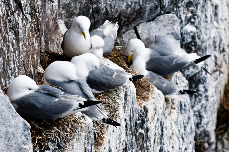 Farne Islands - Kittiwake-7692.jpg