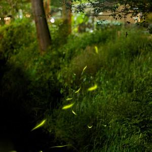Kyoto Fireflies