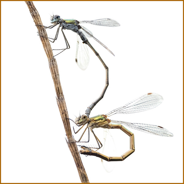 Emerald Damselflies mating
